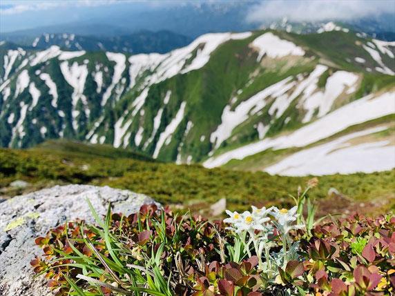▲咲き始めのヒナウスユキソウと平岩山。癒されます。