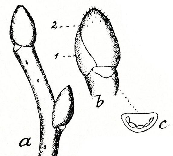 Triebstück mit Knospen, a =Seitenknospe 7 mm und b Endknospe 6 mm; Typischerweise sind nur 2 Knospenschuppen sichtbar, von denen die innere Schuppe die Knospe vollständig umschließt. c Blattnarbe dreieckig, abgerundet mit 3-5 Blattspuren.