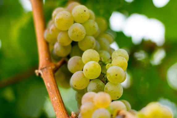 Weiße Weintrauben am Stock