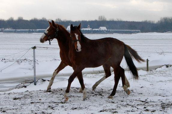 Jonge paarden leren van elkaar.
