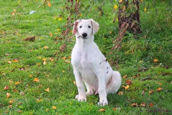 Cremefarbene Barsoi Welpen vom VDH Züchter**Barsois aus Linienzucht**Hobby-Liebhaberzucht Barsois & Scottish Deerhounds/Deutschland!