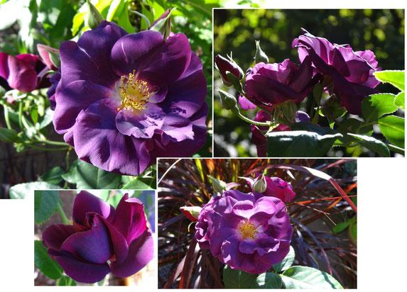 Bild: lila Blütenpracht in goldenen Oktober