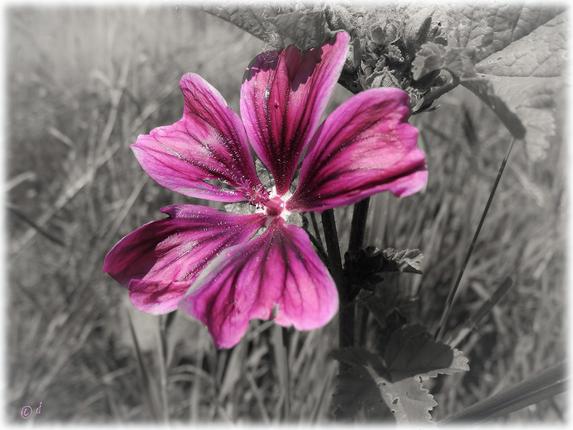 Die Schönheit der Wilden Malve