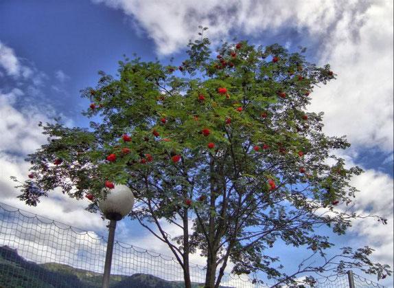 Irgend ein Beerenbaum in Comprovasco