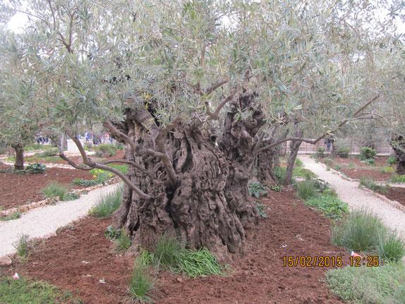 Одно из старейших деревьев в саду