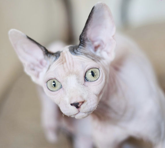Haarlose Katze ohne funktionstüchtige Schnurrhaare. Foto: Pixabay.com