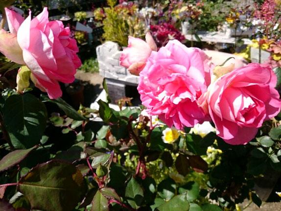 四季咲きバラ「るる」