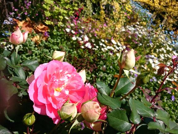 四季咲き性中輪バラ「るる」~K's gardenを背に~