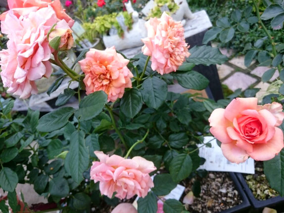 四季咲き薔薇「杏奈」¥4,000