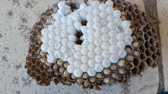 structure d'un nid de frelon asiatique