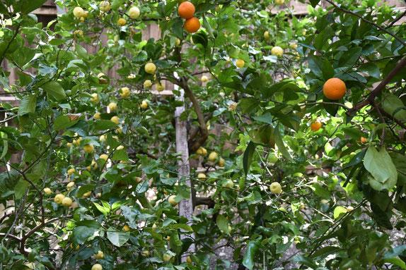 Orangers et citronniers du château de Torri del Benaco