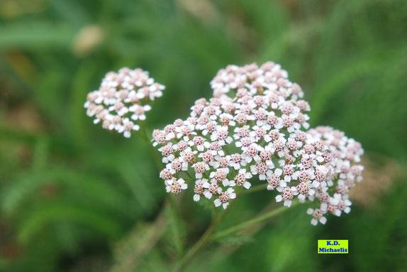 Nahaufnahme der weißen Blüten der Gemeinen Schafgarbe von K.D. Michaelis
