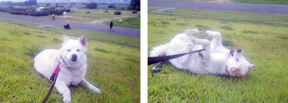リードも引っ張らず、散歩のしやすいワンちゃんです      芝生でゴロゴロ気持ちいい