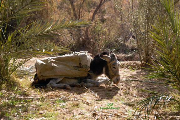 Lastesel in einer Oase in Marokko.
