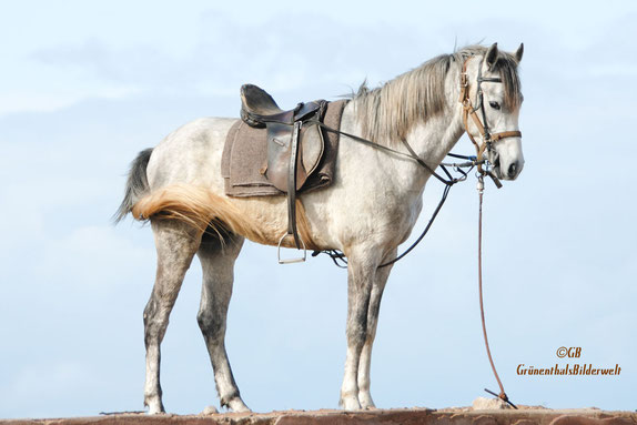 Stolzes Pferd in Marokko.