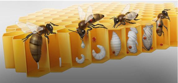 Schéma expliquant la transmission du varroa (source: sauvons les abeilles)