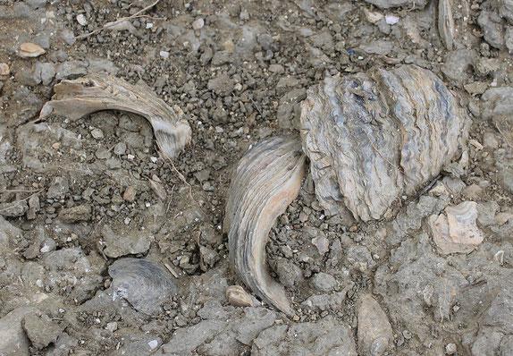 Gruppo di ostriche nei pressi dell'affioramento 2.