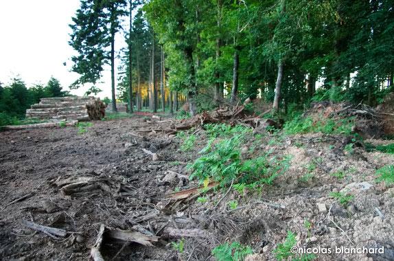 Ecouves, parcelle n°359, colonisation de la fougère aigle sur un site récemment perturbé, Juillet 2016.