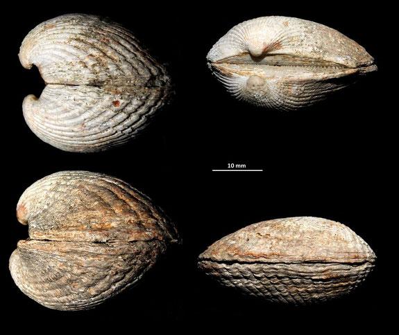 Anadara darwini in posizione di vita, Macchia della Turchina (Monteromano, VT)
