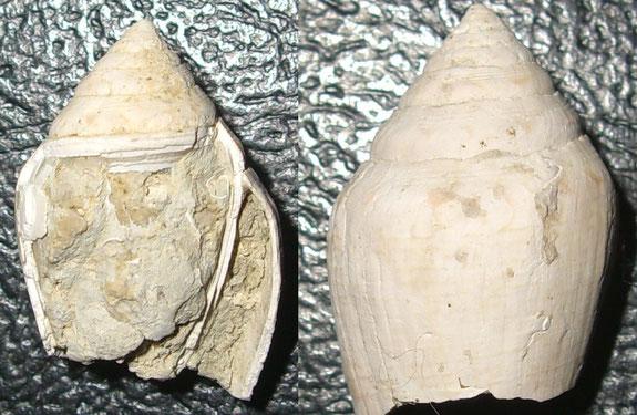 Conus noae, Macchia della Turchina, Monteromano (VT)