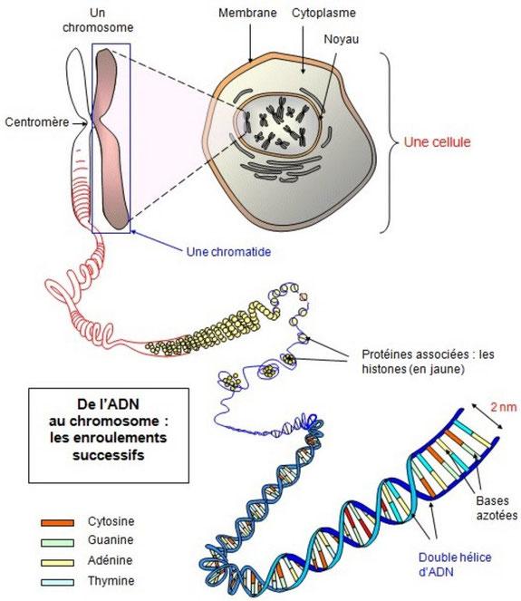 Les différentes échelles d'étude de la molécule d'ADN: des chromosomes aux bases azotées. Source: internet.