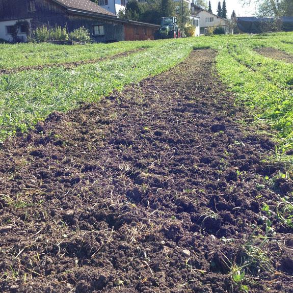 So sieht das Saatbeet nach dem zweiten, flachen Fräsdurchgang aus . Ein kleiner Anteil Klee und Gras hat überlebt, wächst wieder an, übernimmt die Funktion einer Untersaat und kann als Mykorrhiza-Wirt dienen .