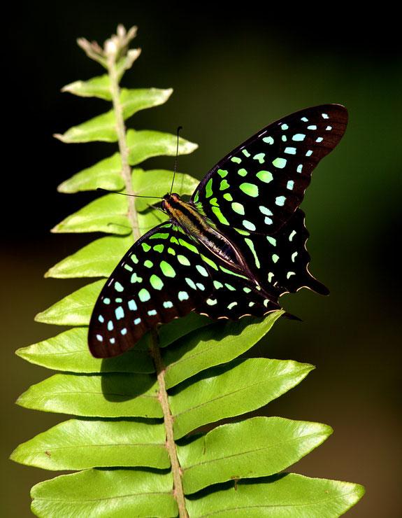 Graphium agamemnon (porte queue geai) Papillon dans la forêt tropicale Balinaise