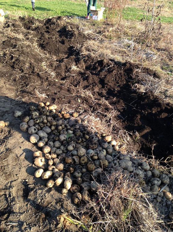 ひたすら掘り上げるうちに芋の大群が。