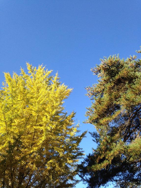 御代田では気候のおかげか緑→レモンイエローの鮮やかなイチョウの紅葉が見られます。先週の写真なので、今はこの木もほぼ裸。