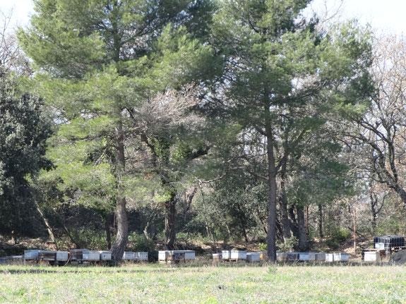 En Provence, sous les pins, les abeilles butinent les fleurs de la garrigue.
