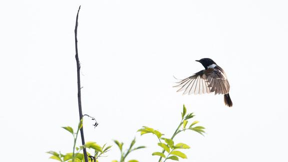 schwarzkehlchen, sebastian vogel, vogel-naturfoto, vogelfotografie