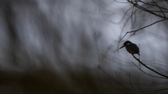 eisvogel, sebastian vogel, vogelfotografie, naturfotografie
