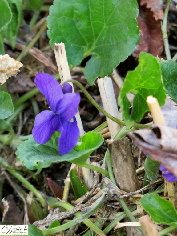 Veilchen - blaue Frühlingsblume im Garten