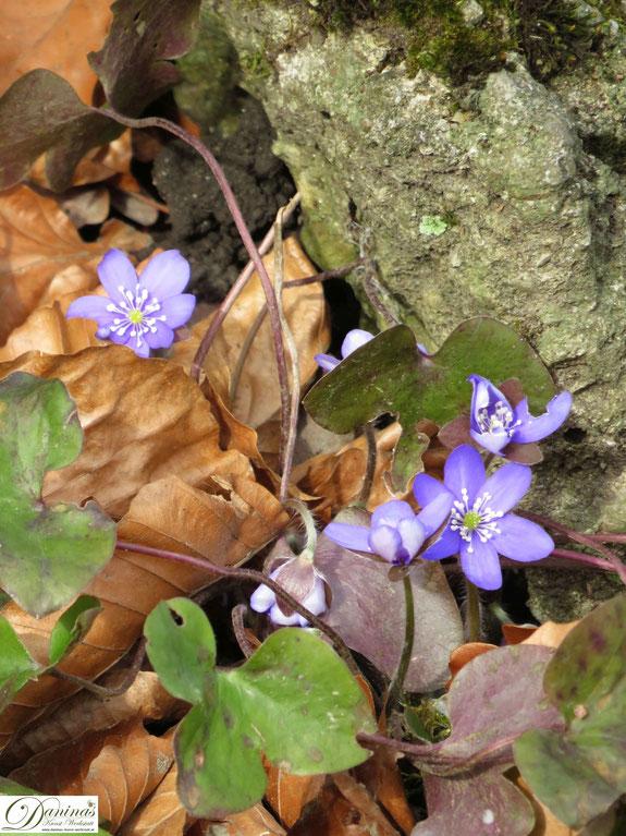 Leberblümchen gehören zu den ersten Frühlingsblumen