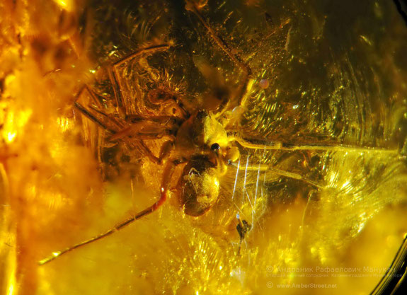 Inclusion in amber:  Arachnida, Araneida