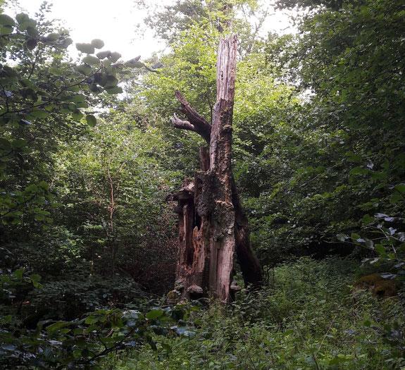 Biotopbaum in der Nähe des Glaskopfes