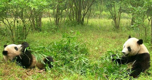 Pandabär frisst gerne