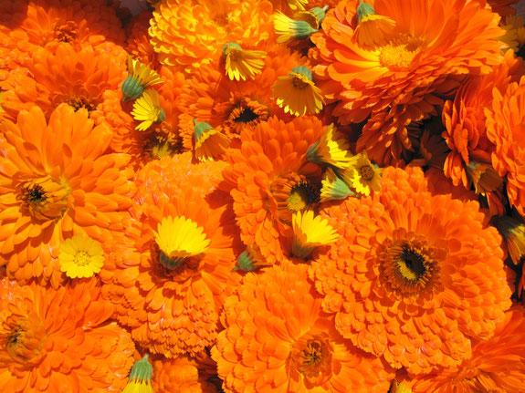 Ringelblumenblüten www.kraeuter-entdecken.de