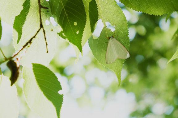 日陰に羽を休める白い蛾はキアシドクガでしょうか