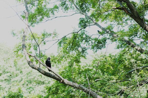二羽のカラス。野鳥たちは子育ての季節です