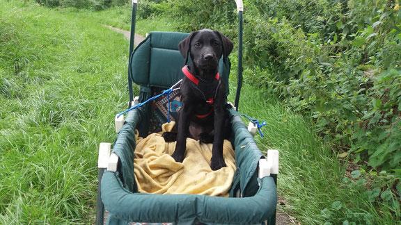 Dankzij de Run & Fun buggy kunnen ook puppys al snel mee met de uitlaat!