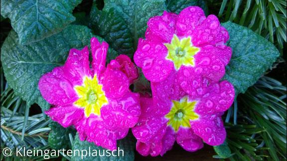 Töpfchen mit pinkfarbener Primel und 3 Blütenköpfchen umgeben von Tannengrün