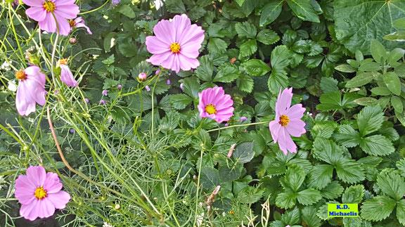 Rosafarbene Blüten der Cosmea / Kosmee / des Schmuckkörbchens von K.D. Michaelis