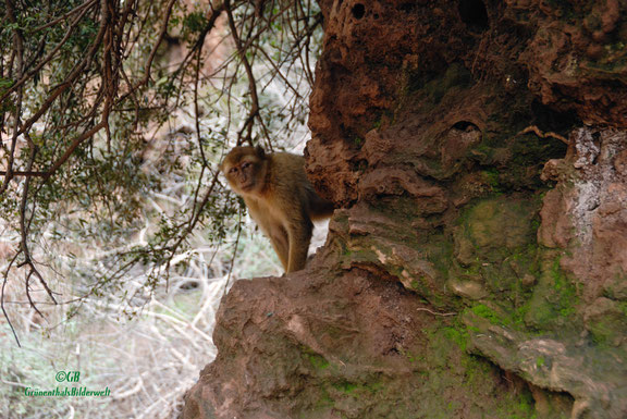 Affe beim Wasserfall in Marokko