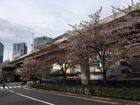 飯田橋のオフィス前にある桜