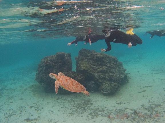シュノーケリングでウミガメと泳ぐ