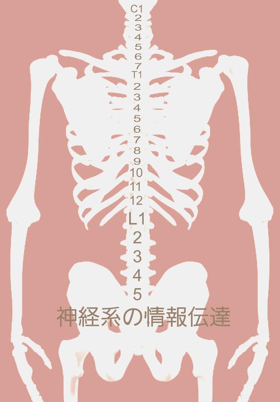 小顔矯正 神経の情報伝達 脛椎 胸椎 腰椎
