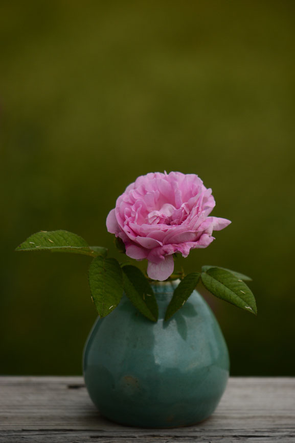 common moss rose for in a vase on monday