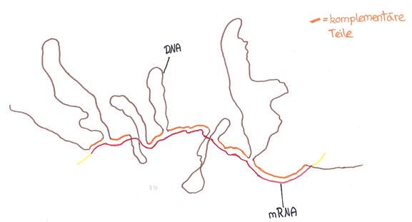 Abb. 2: Schleifenförmiges Muster der DNA-mRNA-Hybridisierung