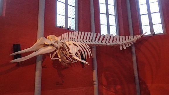 Entenwalskelett im Meeresmuseum in Stralsund